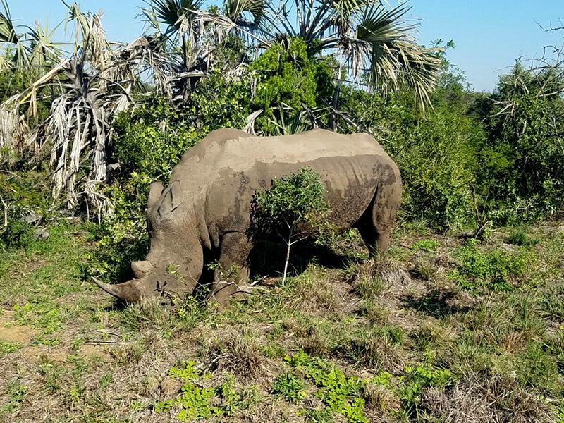 Rhino in Hluhluwe Preserve
